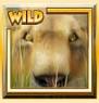 lion-s-roar-wild